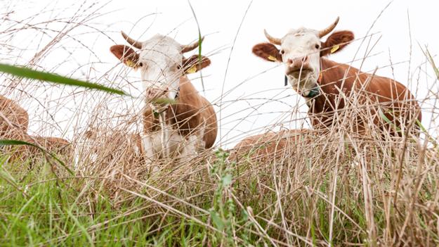 schrozberger-cows-in-field