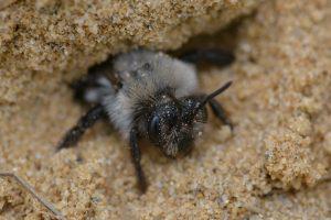 wild-bee